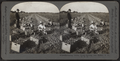 Harvesting onions, truck farming, near Buffalo, N.Y., U.S.A, from Robert N. Dennis collection of stereoscopic views.png