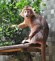 Haubenlangur Berlin Zoo.jpg