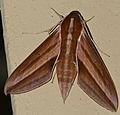 Hawkmoth (Theretra suffusa) (23959287526).jpg