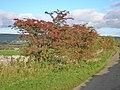 Hawthorn bush - geograph.org.uk - 1009865.jpg