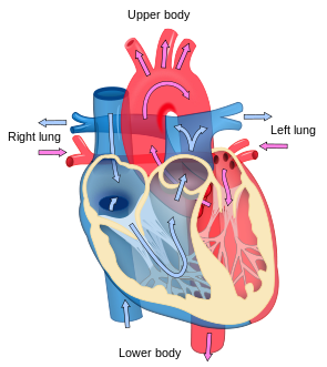Heart diagram with labels in English. Blue com...