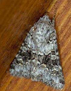 Hecatera dysodea, Lodz(Poland)01(js).jpg