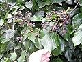 Hedera helix canariensis L. (AM AK291752-2).jpg