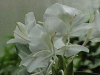 200px-Hedychium_coronarium0