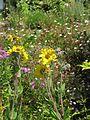 Helianthus mollis - Flickr - peganum (1).jpg