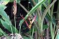 Heliconia psittacorum 26zz.jpg
