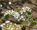 Heliotropium curassavicum 4.jpg