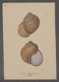 Helix pomatia - - Print - Iconographia Zoologica - Special Collections University of Amsterdam - UBAINV0274 089 01 0010.tif
