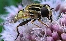 File: Helophilus trivittatus.ogv