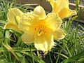 Hemerocallis ´Happy Returns´.JPG