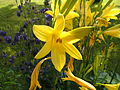 Hemerocallis lilioasphodelus2.jpg