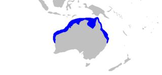 Australian weasel shark species of shark (Hemigaleus australiensis)