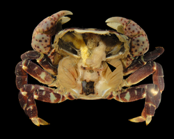 Hemigrapsus nudus from Coos Bay, Oregon, with carapace removed to show the entoniscid Portunion conformis - journal.pone.0035350.g001-F.png