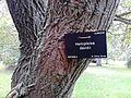 Hemiptelea davidii. Royal Botanic Gardens, Edinburgh (5).jpg