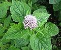 Hemp Agrimony (Eupatorium cannabinum), Lainshaw Woods, East Ayrshire.jpg