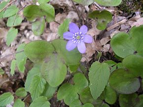 Description de l'image  Image:Hepatica nobilis (castellane).JPG .