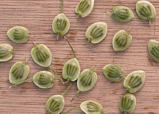 Heracleum mantegazzianum Reuzenberenklauw vruchten