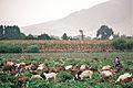Herding Goats (7332670392).jpg