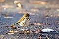 Hermit thrush (27991992249).jpg