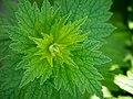 Herzgespann, lat. Leunurus cardiaca, Blätter.jpg