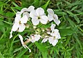 Hesperis matronalis (Dame's Violoet), flower details, Crawfordjohn,.jpg