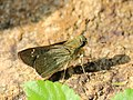 Hespiridae IMG 6114.jpg