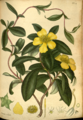 Hibbertia volubilis-The-botanist's-repository,-H.C. Andrews,-vol. 2- t.-126-(1799-1801)-(H.C. Andrews).png