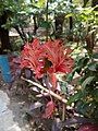Hibiscus rojasinensis.jpg