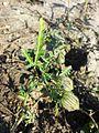 Hibiscus trionum sl19.jpg