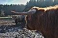 Highland cattle in Fagne Tirifaye, Waimes, Belgium (VeloTour intersection 80, DSCF3636).jpg