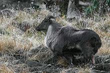 Himalayan Tahr Kedarnath Musk Deer Sanctuary Uttarakhand India 30.11.2015.jpg