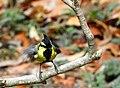 Himalayan black-lored tit DSCN1601 1.jpg