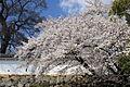 Himeji cherry blossoms 1.jpg