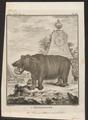 Hippopotamus amphibius - 1700-1880 - Print - Iconographia Zoologica - Special Collections University of Amsterdam - UBA01 IZ21900001.tif
