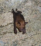 Hipposideros lankadiva Kelaart's leaf-nosed bat 2.jpg