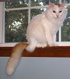 Hobie the turkish van.JPG