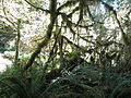 Hoh Rainforest - Olympic National Park - Washington State (9780357646).jpg
