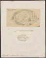 Holacanthus nicobariensis - 1700-1880 - Print - Iconographia Zoologica - Special Collections University of Amsterdam - UBA01 IZ13100241.tif