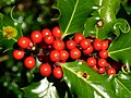 Holly Berries - geograph.org.uk - 280715.jpg