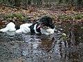 Hond in water - panoramio.jpg