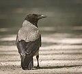 Hooded crow (28160527298).jpg