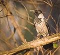 Hooded crow (46575530185).jpg