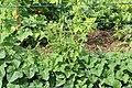 Horngurke - Kiwano - Cucumis metuliferus im Garten, kletternd 11 ies.jpg