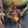 Hornisse Vespa crabro 6498.jpg