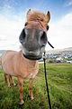 Horse in Faroes-1.jpg