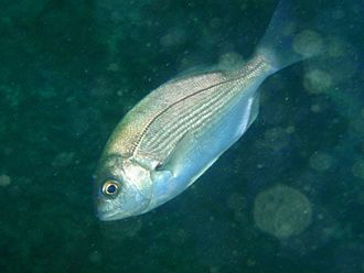 Hottentot (fish) - Image: Hottentot seabream at Finlay's Point PA011672