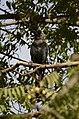 House crow thirupanjeeli JEG0257.jpg
