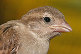 House sparrow portrait.jpg