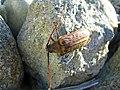 Huhu Beetle - Flickr - GregTheBusker.jpg