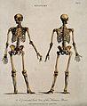 Human skeleton; front and back views. Coloured line engravin Wellcome V0008004.jpg
